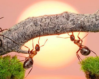 ants-building-bridge-together2